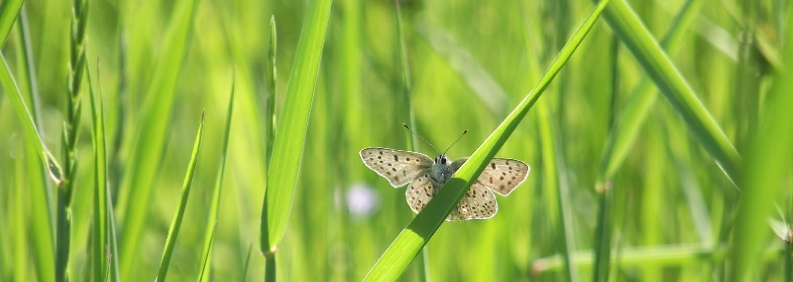 Papillons-Heodes tityrus - Stage CPIE brenne-Berry