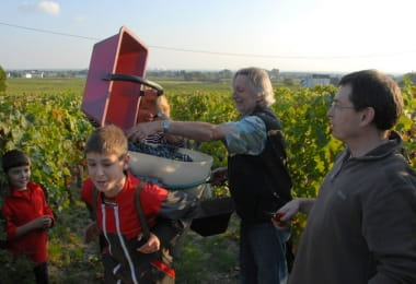 Maison Audebert - Grape harvest - Bourgueil, France.